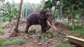 Elefante enorme con le zanne fotografie stock libere da diritti