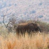 Elefante entre la hierba larga. Fotografía de archivo libre de regalías