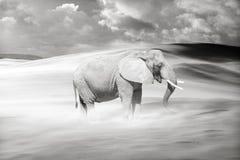 Elefante errante solo Immagine Stock Libera da Diritti