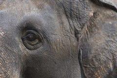 Elefante esquerdo do olho e da orelha Fotos de Stock