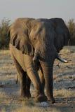 Elefante Etosha Namibia Fotografie Stock