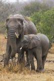 Elefante fêmea com seu filho Fotos de Stock