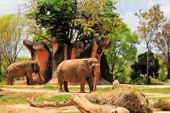 Elefante fêmea & elefante do homem com presas fotos de stock