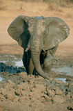 Elefante in fango fotografia stock