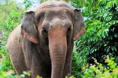 Elefante femenino Imagen de archivo libre de regalías