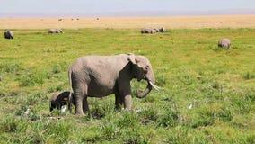 Elefante femenino con el bebé, parque de Amboseli, Kenia almacen de video