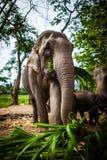 Elefante femenino maduro con la caña de azúcar Foto de archivo