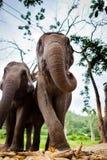 Elefante femenino maduro con la caña de azúcar Fotografía de archivo