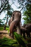 Elefante femenino maduro con la caña de azúcar Imagen de archivo libre de regalías