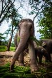Elefante femenino maduro con la caña de azúcar Fotos de archivo