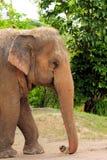 Elefante femminile immagini stock libere da diritti