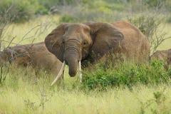 Elefante femminile Fotografie Stock Libere da Diritti