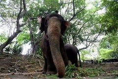 Elefante femminile Fotografia Stock Libera da Diritti