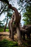 Elefante femminile maturo con la canna da zucchero Immagini Stock Libere da Diritti