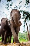 Elefante femminile maturo con la canna da zucchero Fotografia Stock
