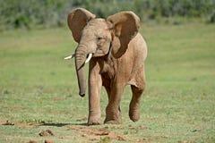 Elefante fresco foto de archivo libre de regalías