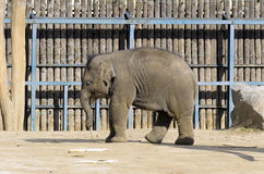 Elefante in gabbia Immagine Stock