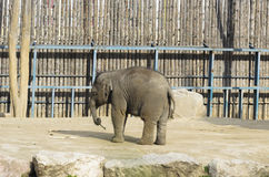 Elefante in gabbia Fotografia Stock Libera da Diritti