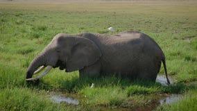 Elefante grande africano salvaje que pasta la hierba que se coloca en el pantano en sabana metrajes