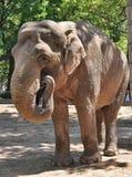 Elefante grande con los colmillos Fotografía de archivo