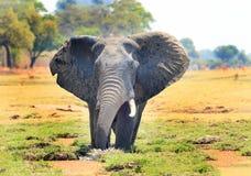 Elefante grande del elefante con los oídos que agitan con un fondo natural del arbusto y del árbol, parque nacional del luangwa d fotografía de archivo libre de regalías