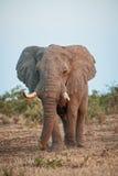 Elefante grande del pie Imagen de archivo libre de regalías
