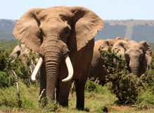 Elefante grande do tusker Fotos de Stock Royalty Free