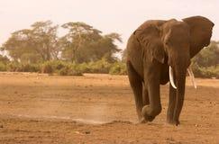 Elefante grande em Amboseli fotografia de stock royalty free