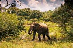 Elefante grande en el safari de Yala, Sri Lanka imagen de archivo