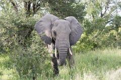 Elefante grande en parque del kruger Foto de archivo libre de regalías