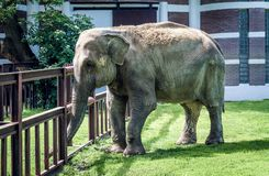 Elefante grande que camina en el parque zoológico fotografía de archivo
