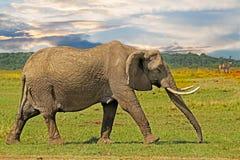 Elefante grande que camina a través de los llanos del africano con un cielo dramático en el Masai Mara, Kenia Fotos de archivo