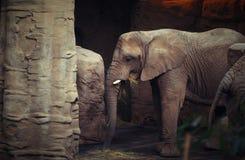 Elefante grigio di Eeating nello ZOO Fotografie Stock Libere da Diritti