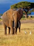 Elefante hermoso con las garcetas de ganado Fotos de archivo libres de regalías