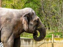 Elefante hermoso en día soleado - boca abierta imágenes de archivo libres de regalías