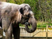 Elefante hermoso en d?a soleado - boca abierta fotos de archivo