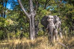 Elefante hermoso en el parque nacional de Chobe en Botswana Imágenes de archivo libres de regalías