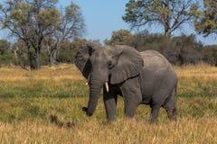 Elefante hermoso en el parque nacional de Chobe en Botswana Foto de archivo