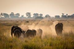 Elefante hermoso en el parque nacional de Chobe en Botswana Foto de archivo libre de regalías