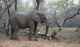 Elefante immobile Immagine Stock Libera da Diritti