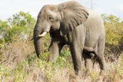 Elefante imponente que se acerca a través de los arbustos verdes amarillos en el parque foto de archivo libre de regalías