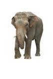 Elefante indiano Immagine Stock Libera da Diritti