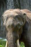 Elefante indiano Immagini Stock Libere da Diritti
