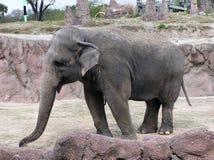 Elefante indiano foto de stock royalty free