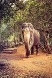 Elefante indiano con le zanne tagliate fotografie stock libere da diritti
