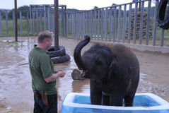 Elefante indiano del bambino e custode di zoo Immagini Stock