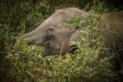 Elefante indiano piacevole nell'habitat della natura del parco nazionale di Kaziranga Fotografie Stock Libere da Diritti