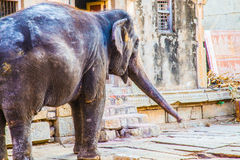 Elefante indiano santo in Hampi, India Immagine Stock