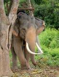 Elefante indiano sotto l'albero Fotografia Stock