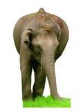 Elefante indiano su fondo bianco Fotografia Stock Libera da Diritti